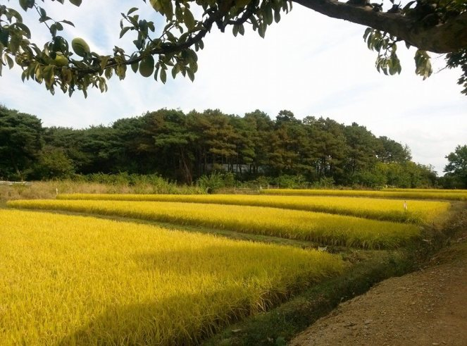 rice field Gyeongsan